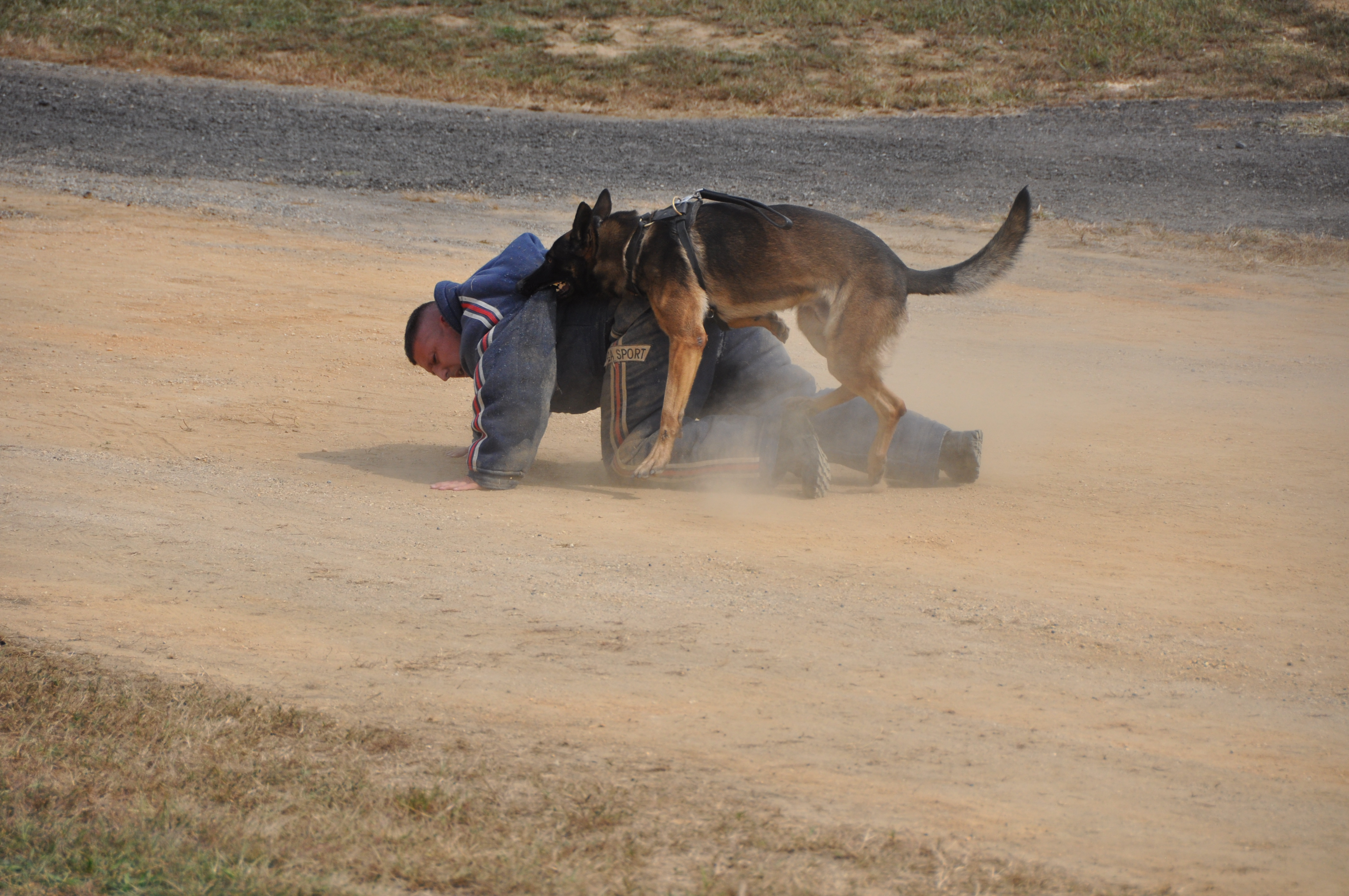 German Shepherd Police Dog in Training Bring an Officer to the Ground